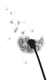 black and whte dandelion loosing his integrity