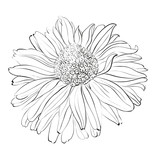 Chrysanthemum flower on white background.