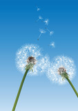 two dandelions on blue background with flying seeds - 58925028