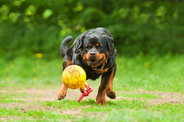 Rottweiler dog playing with ball
