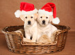 Santa puppies