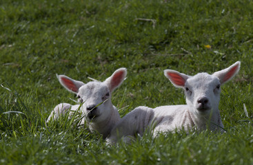 Two yong lambs in the spring