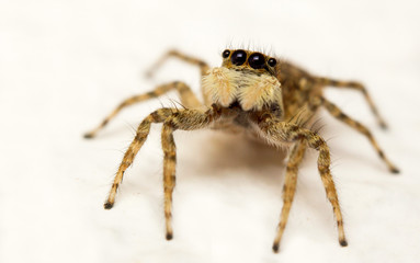 Close-up of a jumping spider (Menemerus semilimbatus)
