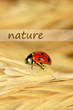 Beautiful ladybird on  wheat ear, close up