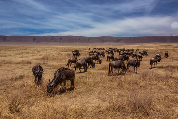 Herd of wildebeest standing