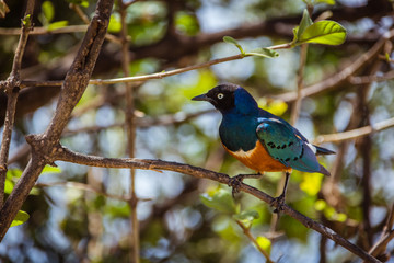 Beautiful african starling on branch