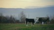 Ukraine milk cow on a meadow an autumn morning