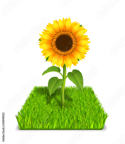 sunflower in the green grass