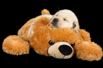 Labrador puppy sleeping on big brown teddy bear