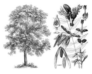 Tree : Ash (Fraxinus Exelsior) - Frêne - Esche