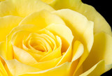 Close up image of yellow rose
