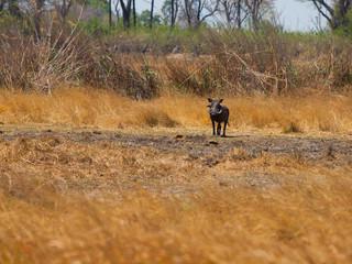 Warthog in savanna (Phacochoerus africanus)