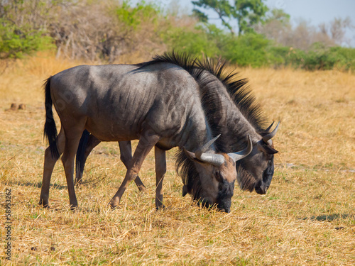 Blue wildebeest couple (gnu)