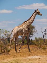 Giraffe in savanna