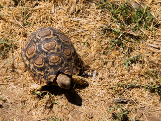 African turtle