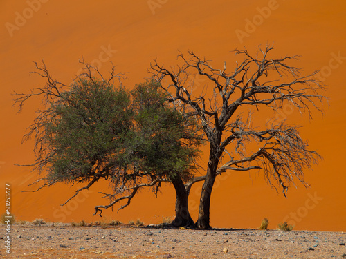 Acacia tree in front of Dune 45 in Namid desert