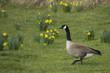Single Canada Goose in Flower Meadow