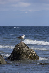 Single Seagull sitting on rock in ocean