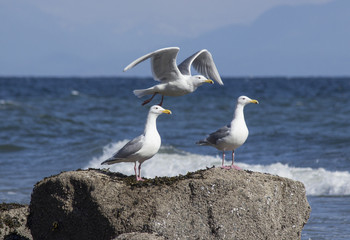 Pair of seagulls perched on rock above ocean