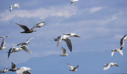 Group of Seagulls in flight above ocean