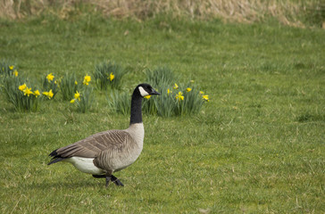 Single Canada Goose in Flower Meadow