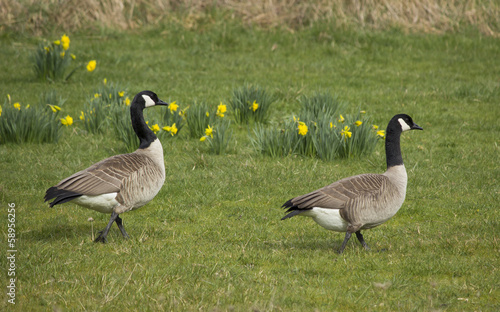 Pair of Canada Geese in flower Meadow