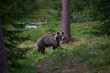 Brown Bear in Finnish Forest