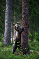 Brown Bear in Finland Forest