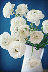 White Ranunculus flowers on a blue background