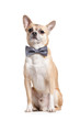 Sitting doggy with grey bow tie, isolated on white