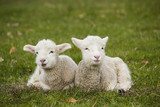 Two adorable young lambs relaxing in grass field