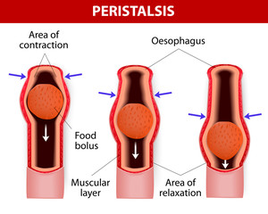 peristalsis. involuntary wavelike muscular contraction.