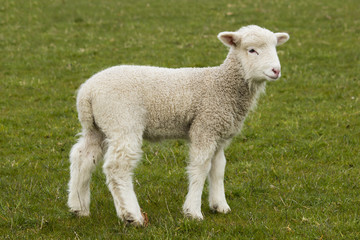 Young, adorable white lamb stading in grass field