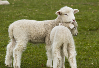 Two adorable young lambs standing in grass field