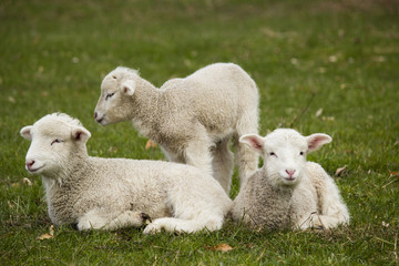 Three adorable white lambs relaxing in grass