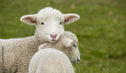 Deurstickers Schapen Two adorable young lambs standing in grass field