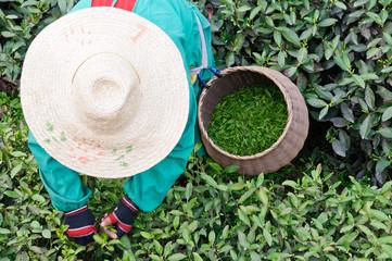 A woman picking tea leaves in tea garden