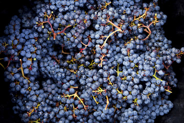 Bunches of black grapes after the harvest