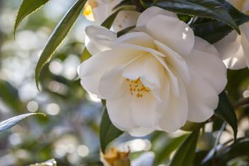 blossom[japanese_camellia]02
