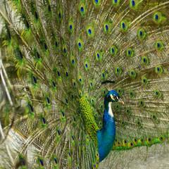 Blauer Pfau, Pavo cristatus