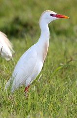 Cattle Egret Bird
