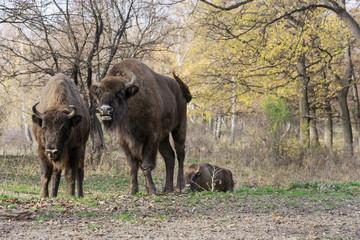 European bison (Bison bonasus) living in autumn deciduous forest