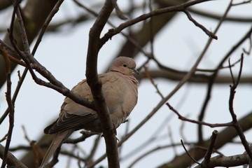 turtledove in the tree in winter