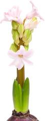 opening pink hyacinth,
