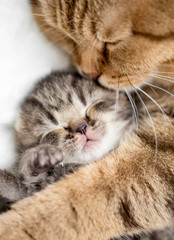 mother cat hugging little kitten