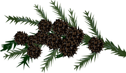 juniper branch with cones isolated on white
