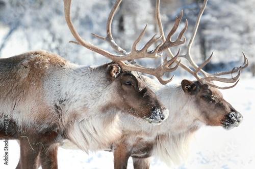 Fototapeta caribous