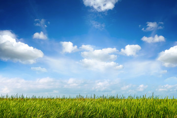 field of green fresh grass under blue sky