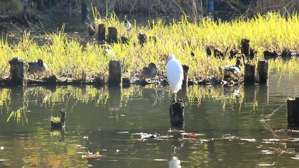 white heron and duck