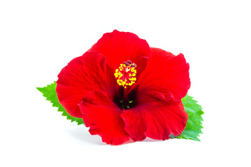 a red hibiscus flower isolated.